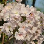 🌳 Prunus 'Amanogawa' : un cerisier à fleurs à port colonnaire