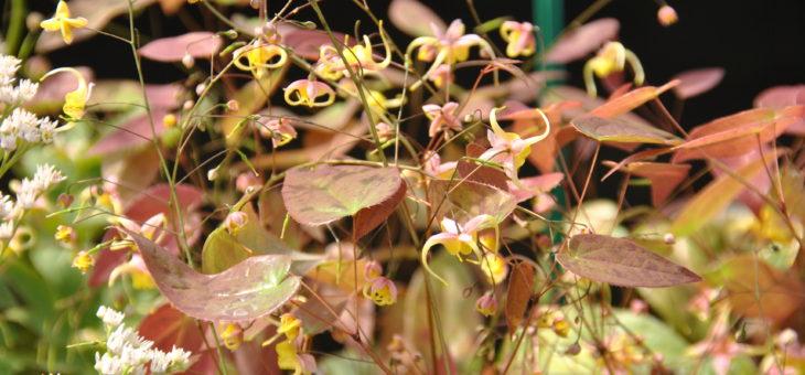 Epimedium, jolies fleurs des elfes
