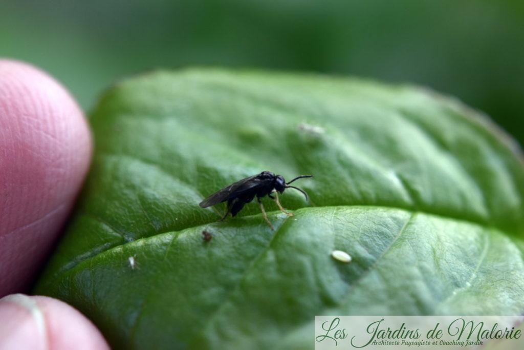 blennocampa pusilla en train de pondre sur une feuille(aussi appelée tenthrède rouleuse des feuilles de rosier), avec à côté d'elle un oeuf de syrphe, petit grain de riz blanc