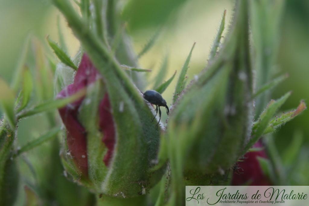 un charançon parasite des rosiers (anthonome ou apion?)