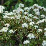 Ledum groenlandicum 'compactum' (Thé du Labrador nain)