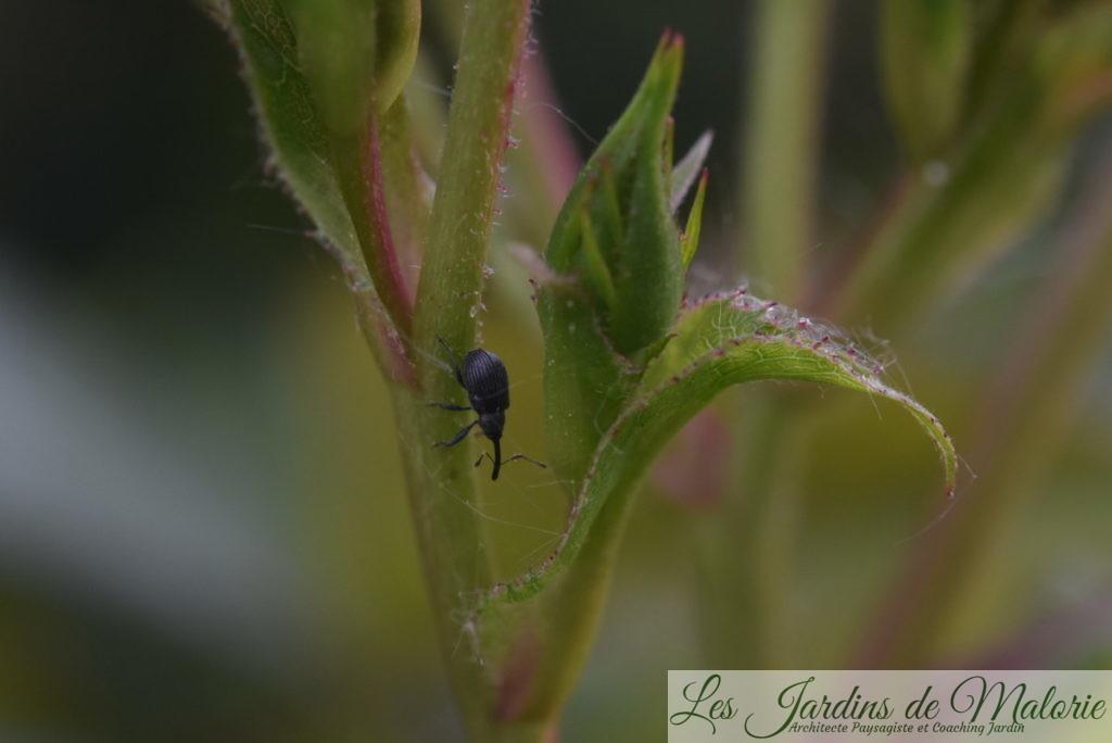 charançon parasite des rosiers (anthonome ou apion?)