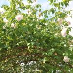 ❤  Focus sur le rosier 'Mme Alfred Carrière'