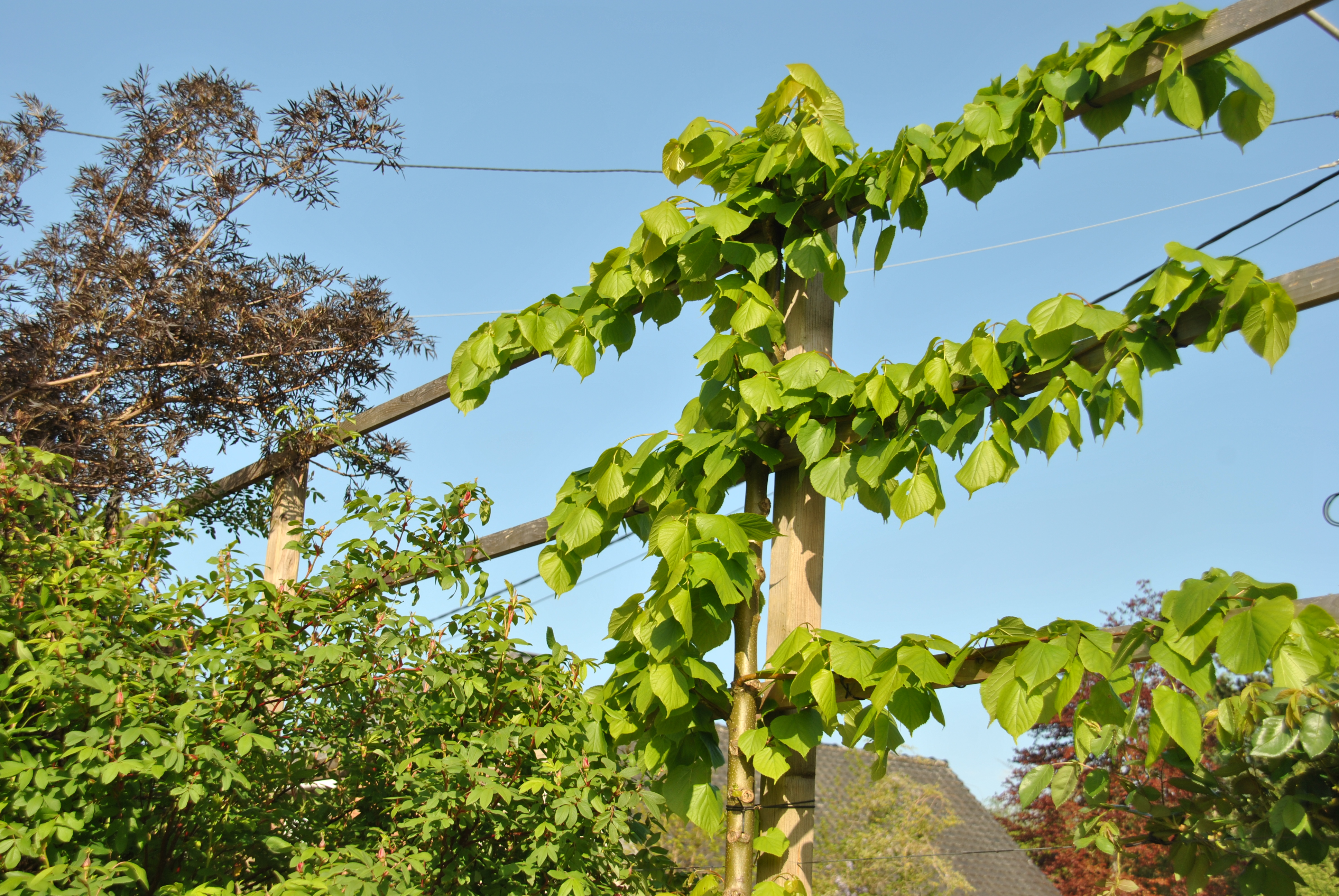 Faire Une Palissade Avec Des Branches ma palissade de tilleuls - les jardins de malorie