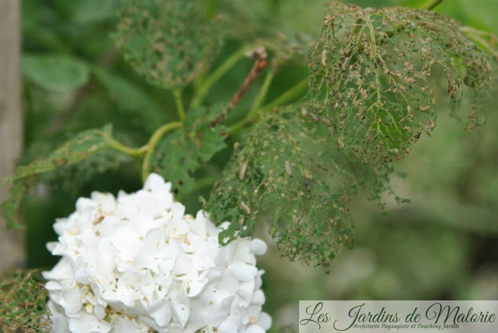 larvesde la Chrysomèle de la viorne,Pyrrhalta viburni qui se sont attaquées au viburnum opulus (Boule de Neige)