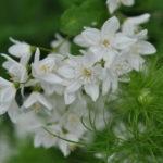 Deutzia gracilis, un bouquet d'étoiles