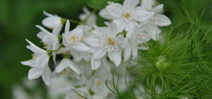 Deutzia gracilis, un bouquet d'étoiles