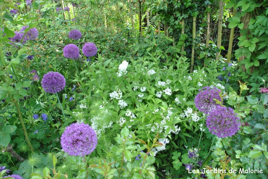 deutzia gracilis et allium 'Purple Sensation'