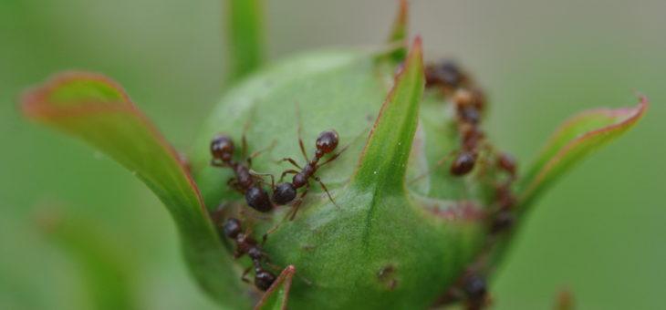 🐜 Insectes auxilaires : Des fourmis sur les pivoines
