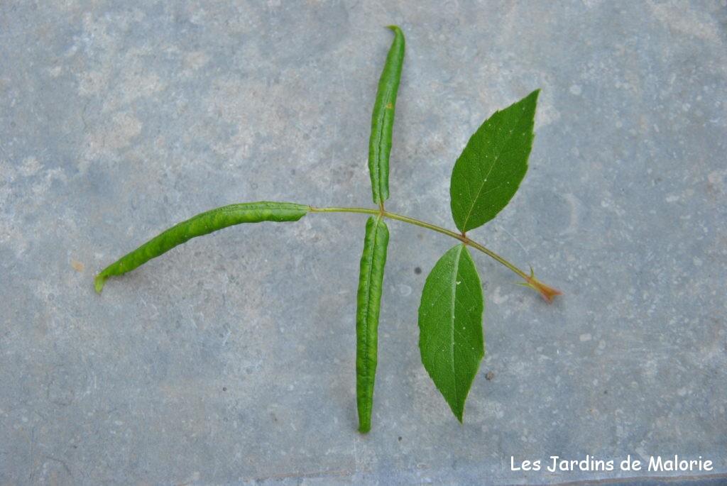 feuilles de rosiers enroulée suite à la piqûre de blennocampa pusilla (tenthrède rouleuse de feuilles).