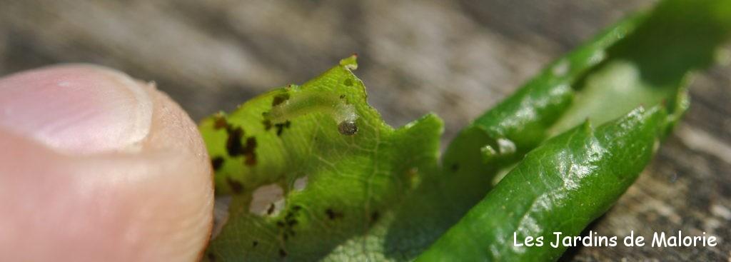fausse-chenille, larve de blennocampa pusilla (tenthrède rouleuse de feuilles) dans une feuille de rosier roulée
