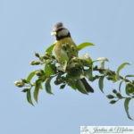 🐦 Oiseaux du jardin: Nichée de mésanges bleues