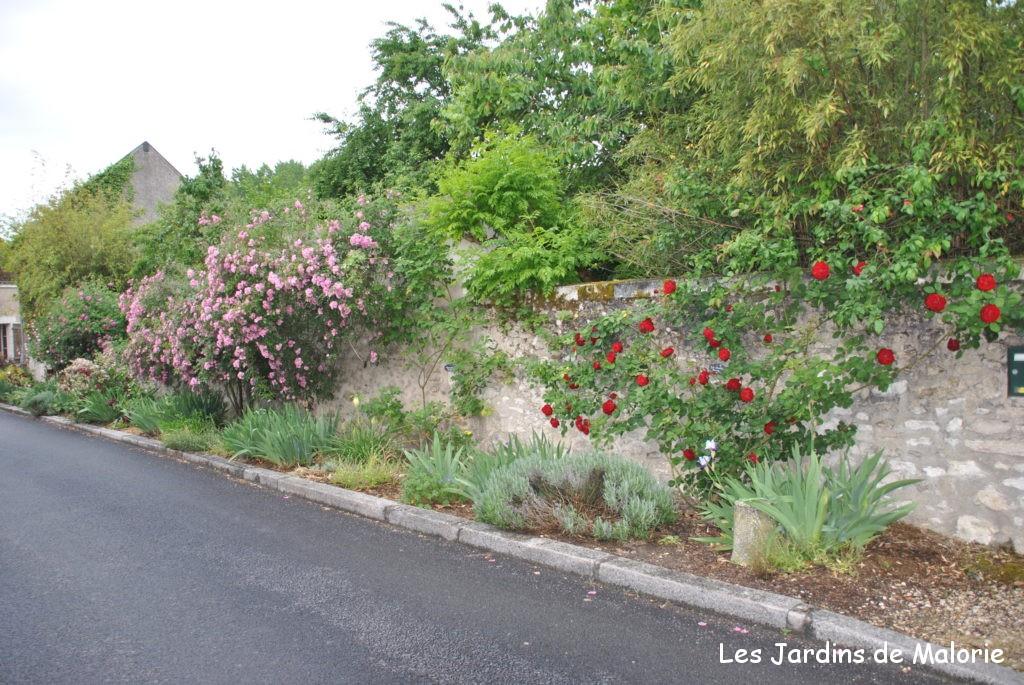 au fond, rosier 'Marietta Silva Tarouca' avec un rosier rouge à l'avant-plan, dans le village de Chedigny