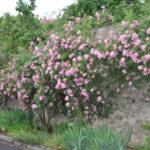 ❤ ❤ Focus sur le rosier 'Marietta Silva Tarouca'