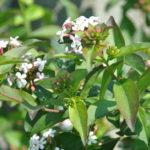 Les parfums de mon jardin: Abelia mosanensis