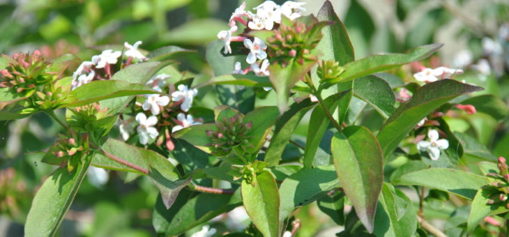 Parfums du jardin: Abelia mosanensis