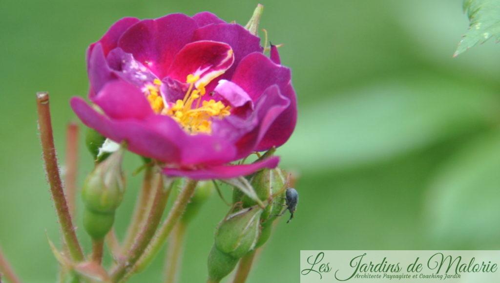En 2013 déjà, un petit charançon parasite des rosiers sur le rosier 'Violette'