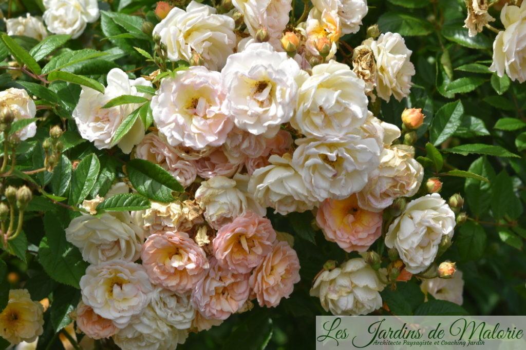 rosier 'Ghislaine de Féligonde'