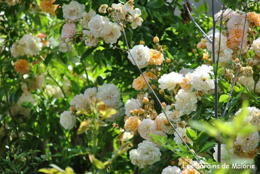 focus sur le rosier 39 ghislaine de f ligonde 39 les jardins de malorie. Black Bedroom Furniture Sets. Home Design Ideas