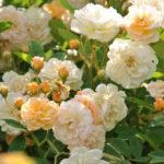 ❤ Focus sur le rosier 'Ghislaine de Féligonde'