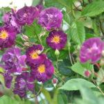 ❤ Focus sur le rosier liane 'Violette' ou 'Violetta'