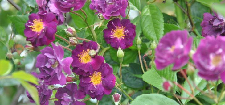 ❤ ❤ Focus sur le rosier liane 'Violette' ou 'Violetta'