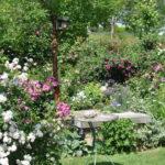 Chroniques de mon jardin: une foison de roses
