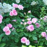 ❤  Focus sur le rosier 'Gertrude Jekyll'