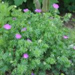 Chroniques de mon jardin: les géraniums vivaces du moment