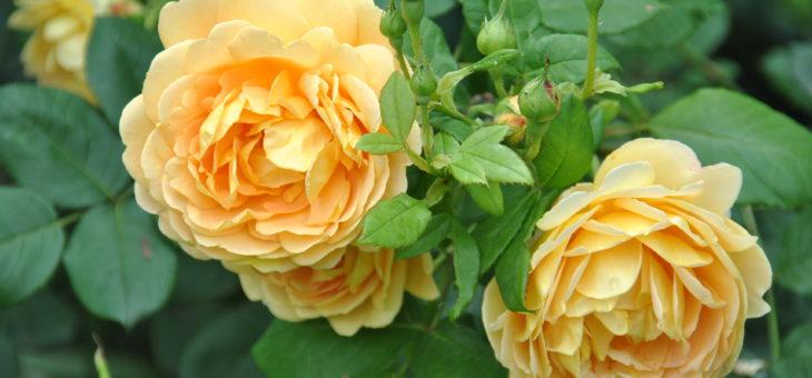 ❤ Focus sur le rosier 'Golden Célébration': du soleil au jardin!