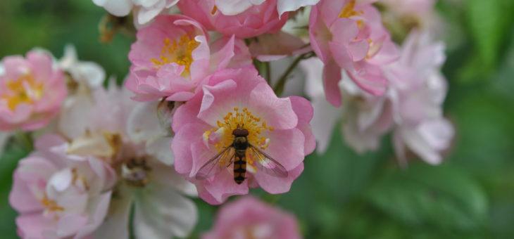 ❤ Focus sur le rosier 'Belle des Fagnes', tellement romantique!