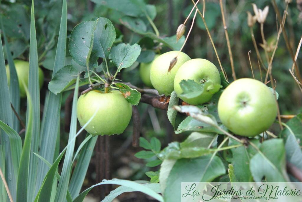 les pommes sur le pommier cordon, (fin août)