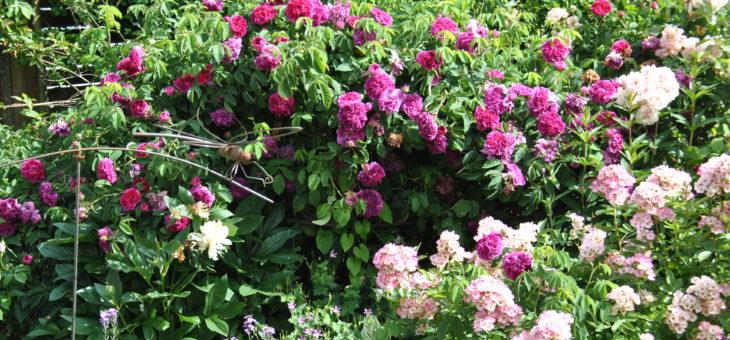 ❤  Focus sur le rosier 'Charles de Mills'