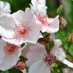 ❤ Focus sur le rosier 'Astronomia', en toute simplicité