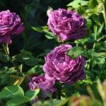 ❤ ❤  Focus sur le rosier 'Reine des Violettes'