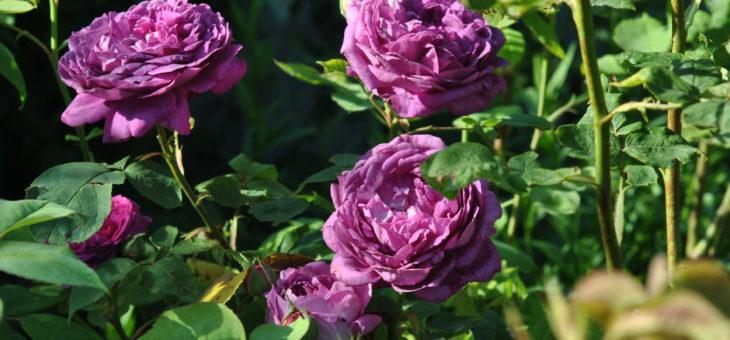 ❤ Focus sur le rosier 'Reine des Violettes'