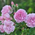 ❤ Focus sur le rosier 'Harlow Carr', romantique et parfumé