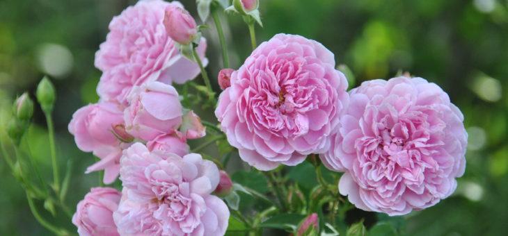 ❤ ❤ ❤ Focus sur le rosier 'Harlow Carr', romantique et parfumé