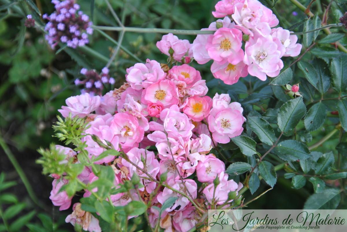 rosa 'Castor'