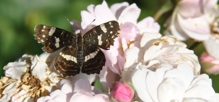 Papillon «Carte géographique»