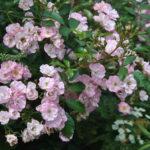 ❤  Focus sur le rosier 'Castor'