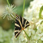 曆 Papillon Ecaille chinée