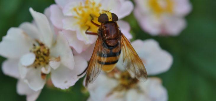 🐝  Le syrphe déguisé en frelon (Volucella zonaria)