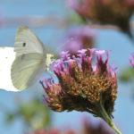 曆 Papillon : Piéride