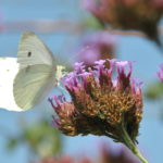 🦋 Papillon : Piéride