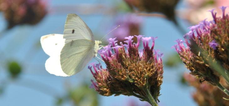 Papillon : Piéride