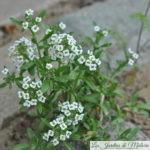 Lobularia maritima, une si longue floraison