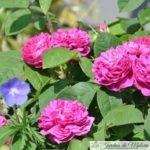 Focus sur 'Rose de Rescht