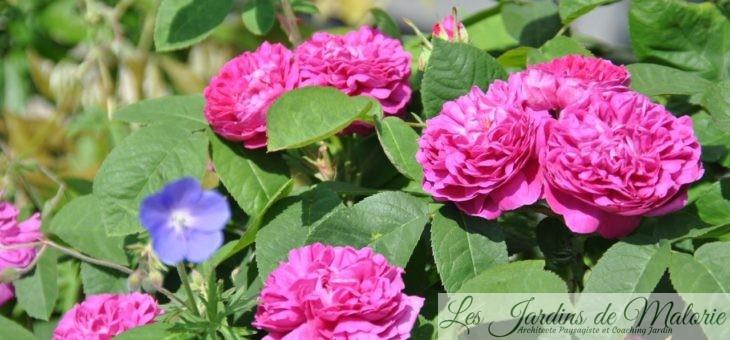 ❤ Focus sur 'Rose de Rescht'