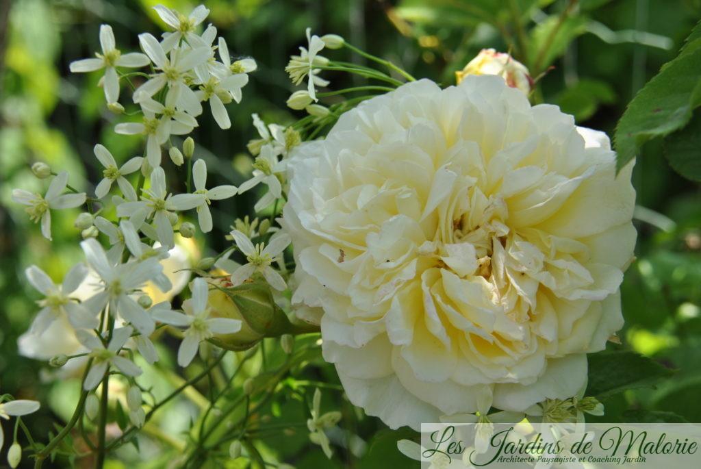 rosier 'The Pilgrim' et clématis recta